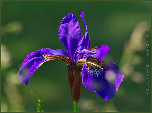 gardener's joy - blue Iris by rafischatz