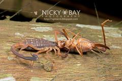 Scorpion (Scorpiones) - DSC_5768