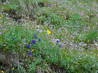 An arnica in  a meadow of plectritis, larkspur and monkeyflower