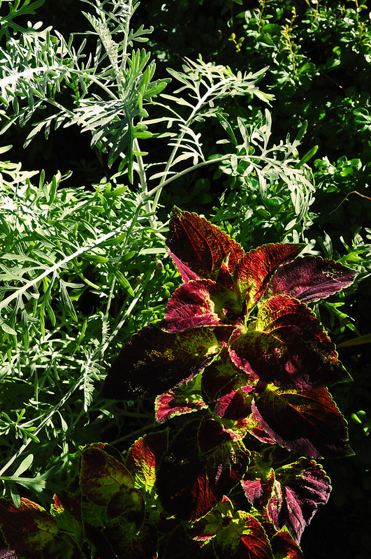 Eyre Hall (Centaurea and Coleus)