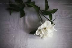 flower, white, floral design, plant, flora, peony, petal,
