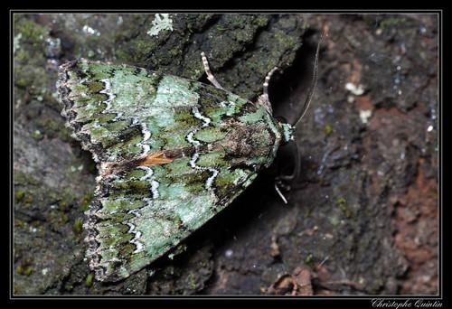 Noctuelle de camérisier (Polyphaenis sericata)