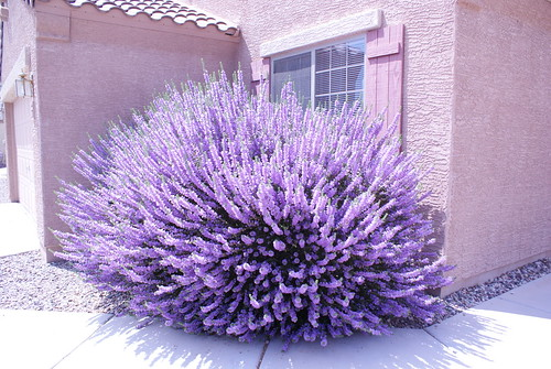 purple texas sage by Digital Heather