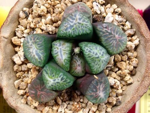 Haworthia truncata v. maughanii 'Tricolor' by Reggie1