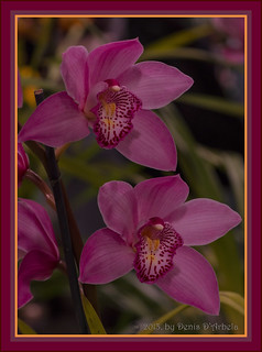 "Cymbidium Orchid ""Candy King"""