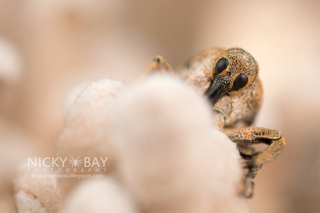 Weevil (Curculionidae) - DSC_3648