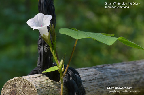 Small White Morning Glory, Whitestar, Pitted Morningglory - Ipomoea lacunosa