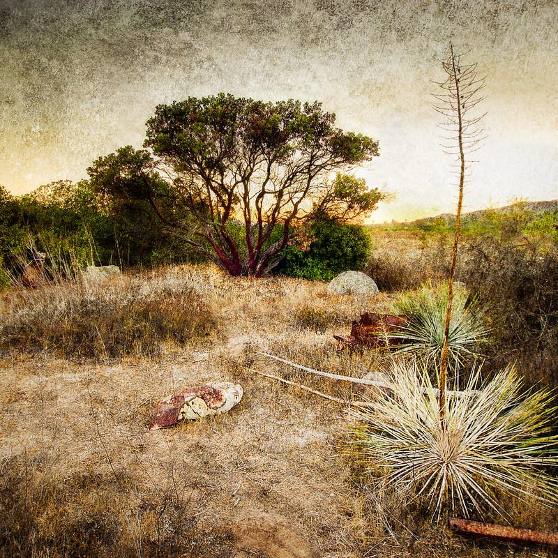 Manzanita and Yucca • Fillmore, CA 2013