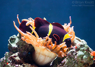 Maroon Clownfish in Sea Anemone