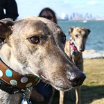 Greyhound Adventures at Deer Island, Winthrop MA October 27th 2013