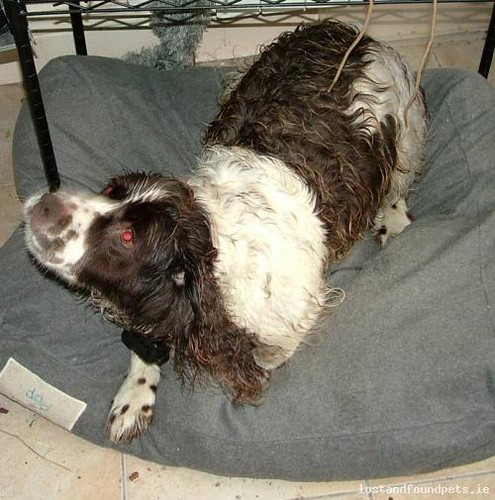 Sat, Nov 2nd, 2013 Found Male Dog - The Local Area, Six Crosses, Listowel, Kerry