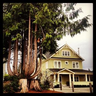 Octopus Tree   Meriweather Square   Seabrook, WA  #seabrookwa@seabrookwa#cedartree#octopustree#woodlandpromenade#stump#sunsetideatown#meriweathersquare#newurbanism