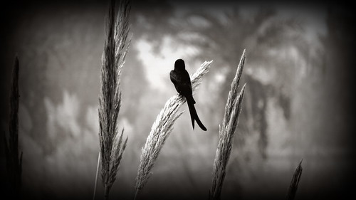 Resting In Peace A Black Drongo......................:)