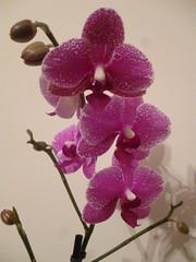cattleya labiata(0.0), violet(0.0), cattleya trianae(0.0), flower(1.0), purple(1.0), plant(1.0), lilac(1.0), phalaenopsis equestris(1.0), flora(1.0), moth orchid(1.0), pink(1.0), petal(1.0),