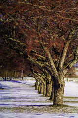 December 14, 2014 - Cherry Trees on College Avenue; Waterville, Maine