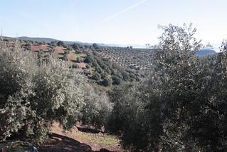 Campo jienense de olivos, base del aceite Butamarta (Foto cortesía de Berzosa Hostelería).