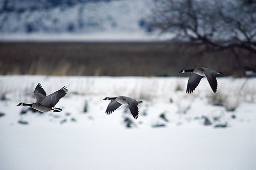 Wildlife in British Columbia, Canada: Canada Goose