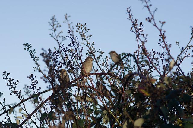 16: House Sparrow