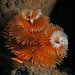 Xmas tree Worms by aquadoc