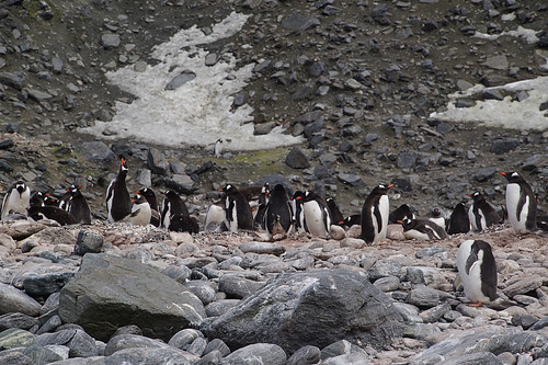 191 Elephant Island - Point Lookout Kolonie ezelspinguins