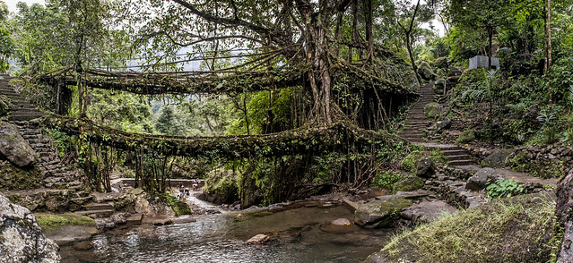 The Double Decker Root Bridge - Tangled Up in Greens