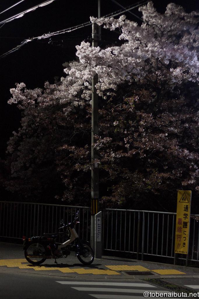 カブと夜桜