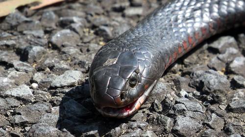 Red-bellied Black Snake face on