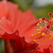 Red Hibiscus by dennisgg2002