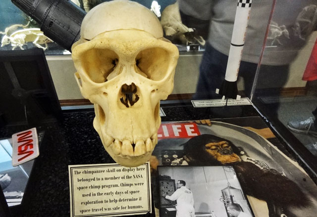 chimp-skull