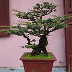 One of Many Bonsai at Thiên Mu Pagoda