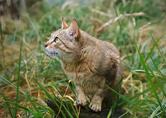 Gordon's Wildcat