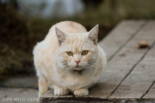 4T4A4778 Cream tabby Japanese cat 薄茶トラ猫