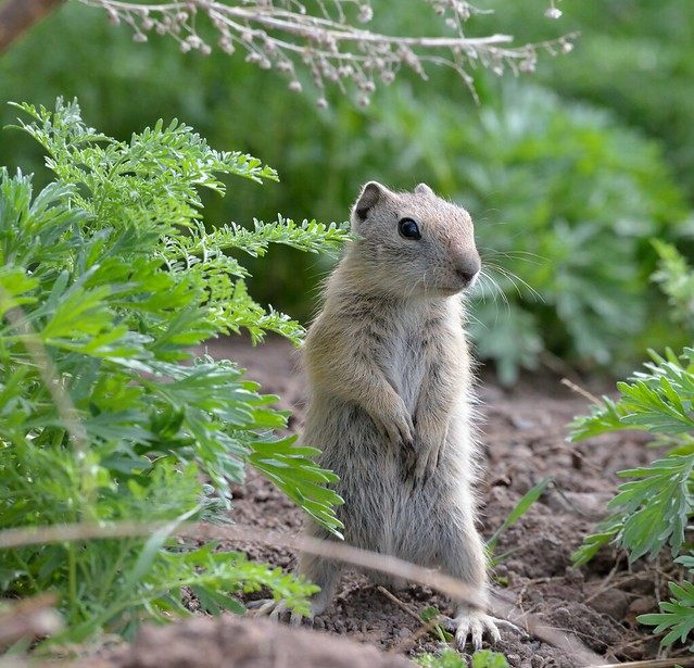 photo of belding ground squirrel