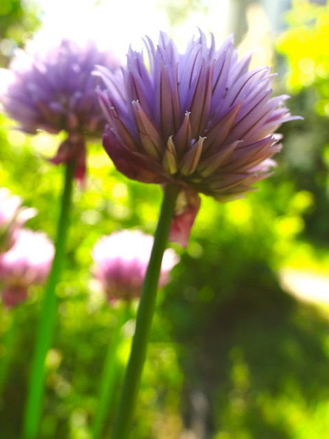 little allium