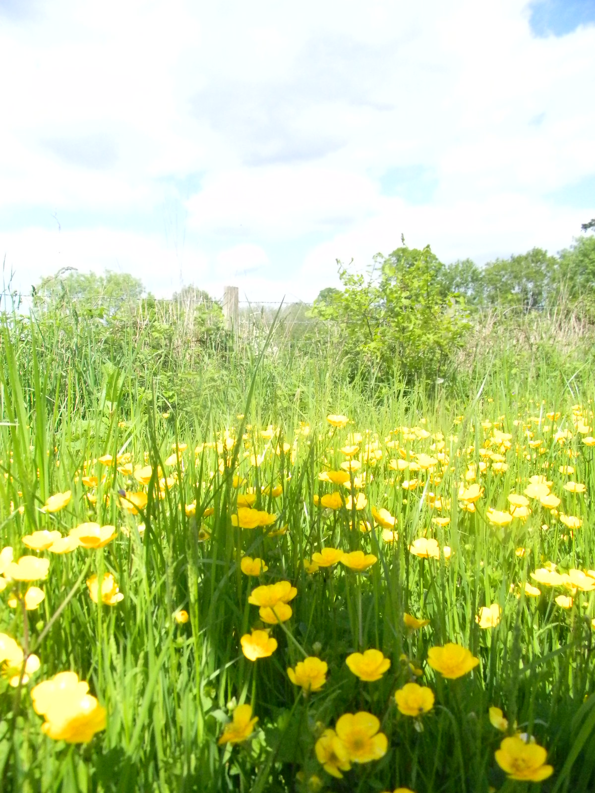 Buttercups Long Leigh circular