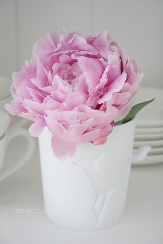 Light pink peonie