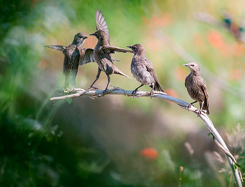 starlings young dancers