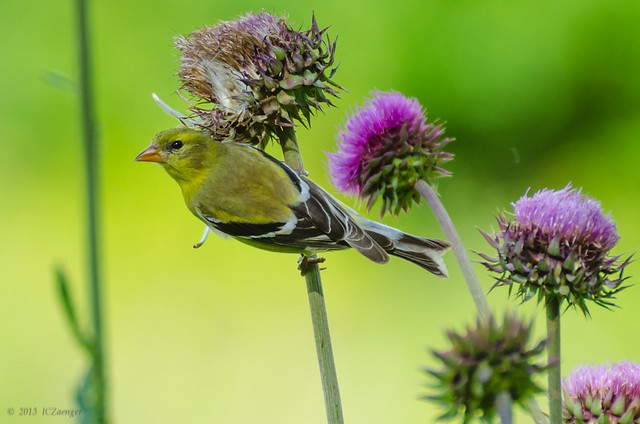 Finch and Thistle 04