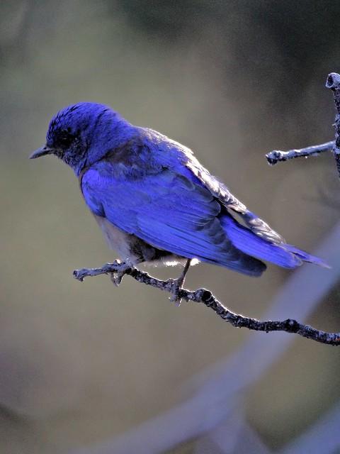 Western Bluebird 4-20130618