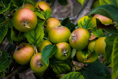 trees apple fruit nc northcarolina newbern marc714 espaliering
