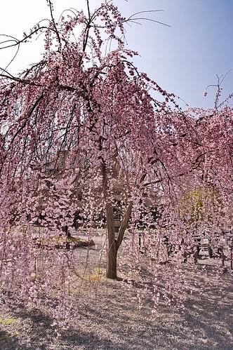 【写真】2013 桜 : 立本寺/2020-10-01/IMGP8675