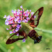 Hummingbird Clearwing Moth by jt893x
