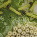 Bug eggs and caterpilars