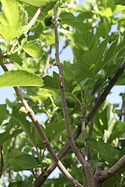 Young figs in Shanshan (Piqan) County ルクチュン、熟す前のイチジクの実