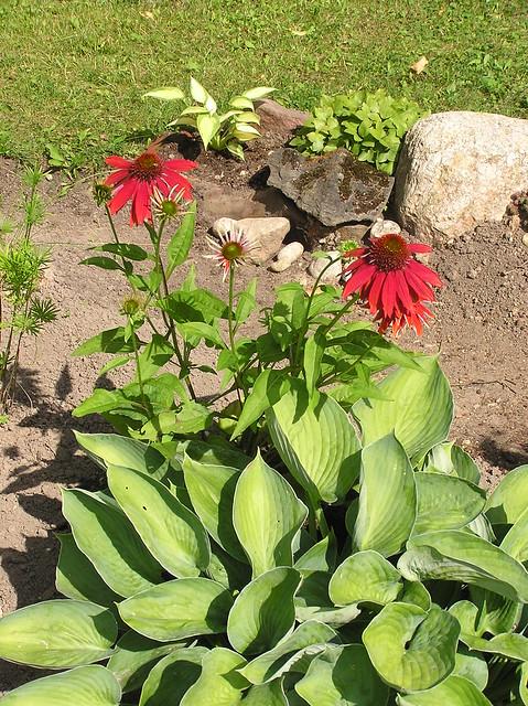 Echinacea 'Salsa Red'