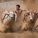 Buffalo Racing by Humanity Photo Awards (HPA2013)