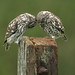Little_Owl_002