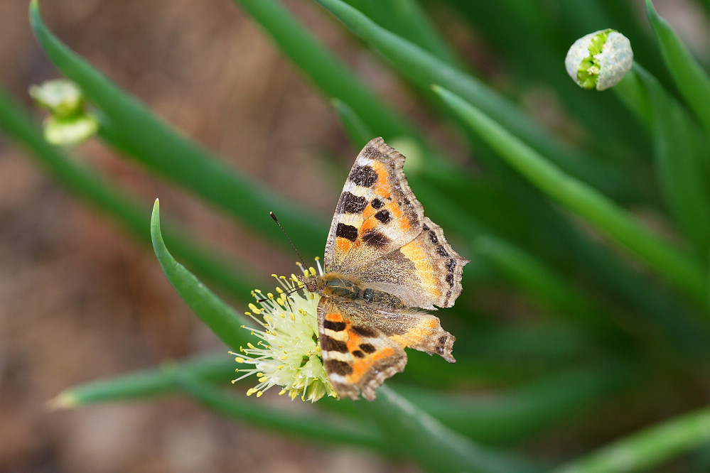 南亞蛺蝶 Aglais kaschmirensis-5