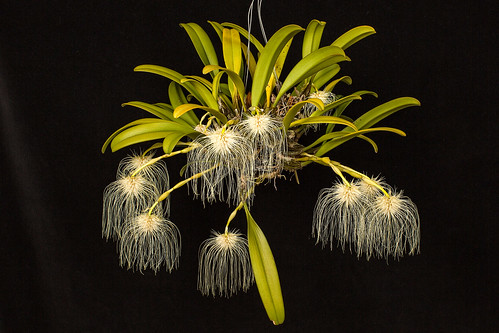 Bulbophyllum medusae by hawaiiansunshine