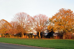Golden Trees in Hedon